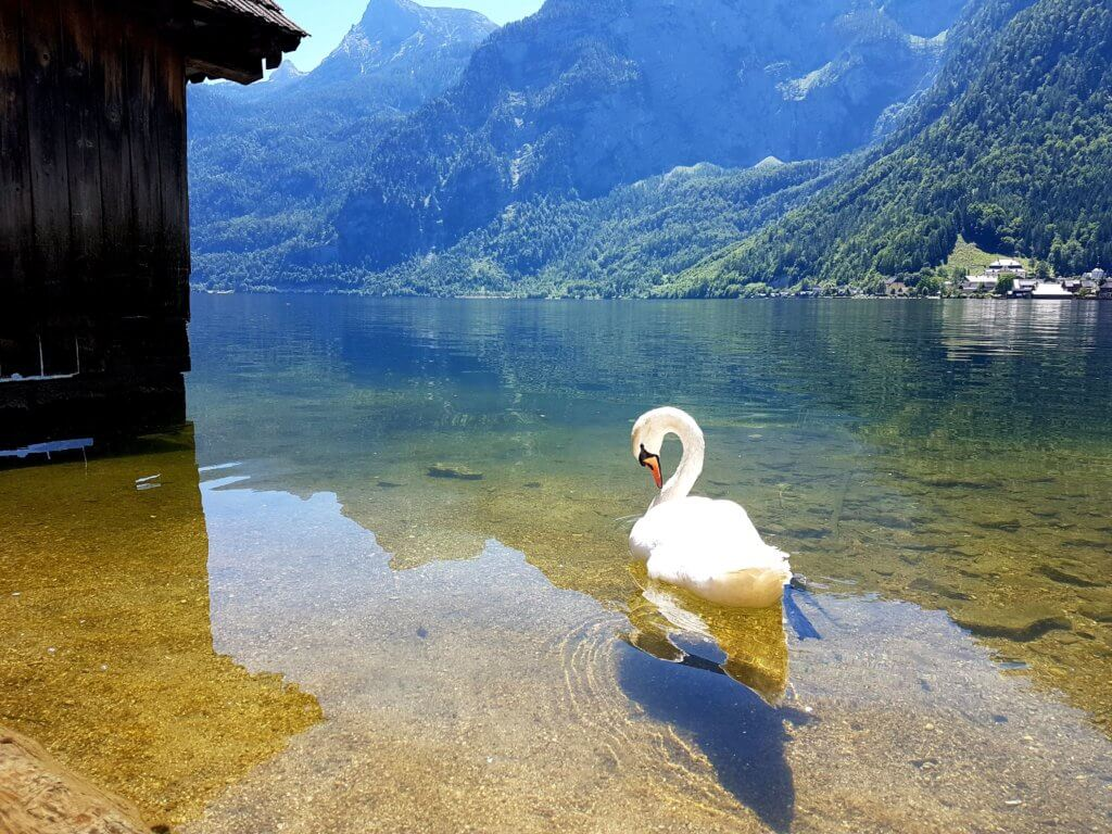 Swan on Lake Hallstatt.