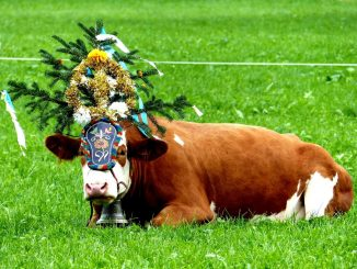 Almabtrieb cow with headdress. © Travel Tyrol